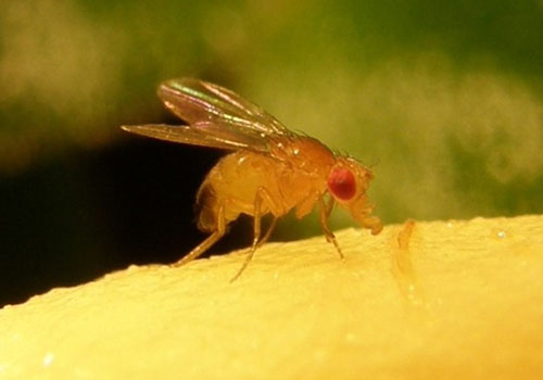 fruit fly landing on a yellow substance