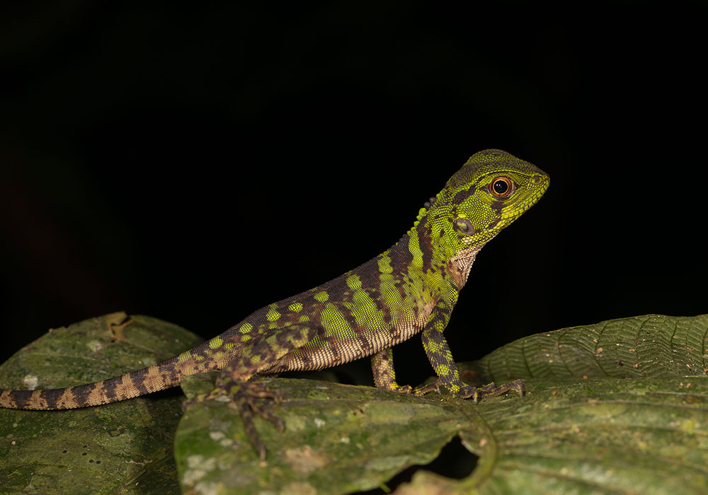 A green lizard rests on a leaf. The background is pure black.