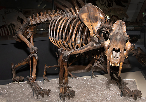 Display at the ROM of the Canadian Smilodon skeleton.