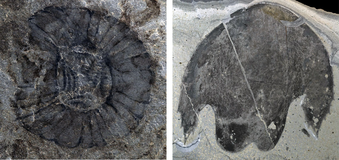 Fossils of Cambroraster