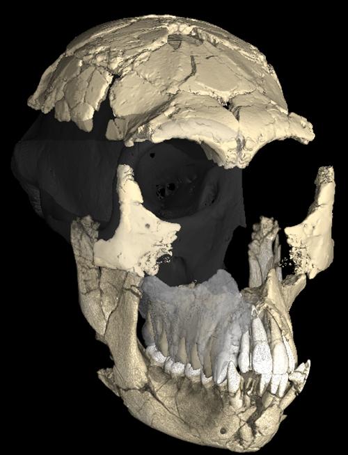 Ape skull fossil.
