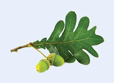 Picture of a green leaf and acorns on a light blue background