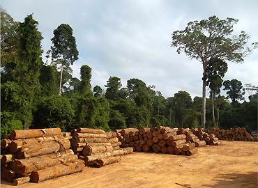 The amazon forest with a pile of logs beside lush trees on a dry hot day.