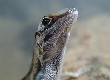Close-up of an Anolis lizard with a rebreathing bubble on its snout.