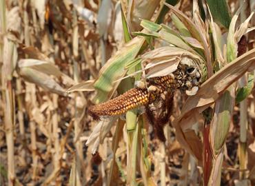 Damaged corn plant in field