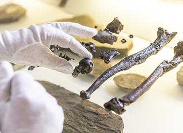 Hands holding various brown bones belonging to a male Danuvius.