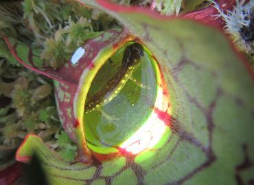 A salamander caught inside a pitcher plant.